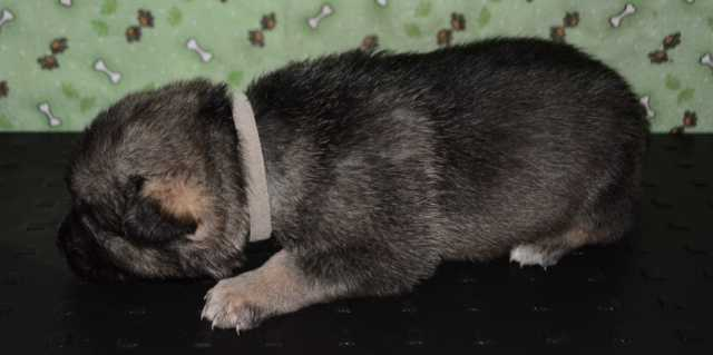 Dire Wolf Project - Buttons - DireWolf Dogs - American Alsatian Dog