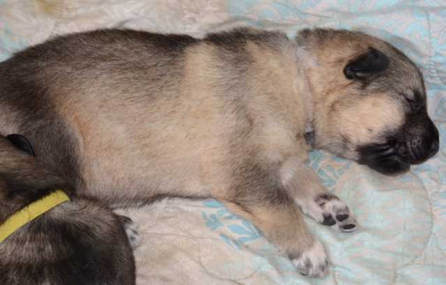 Dire Wolf Project - Crown Jewels Litter - Hope - DireWolf Dogs