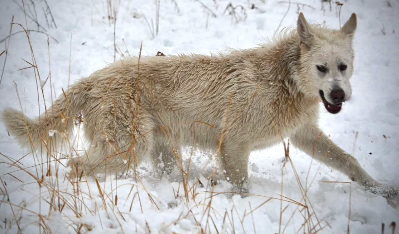 American Alsatian Dog - Dire Wolf Project - DireWolf Dogs - Toodles
