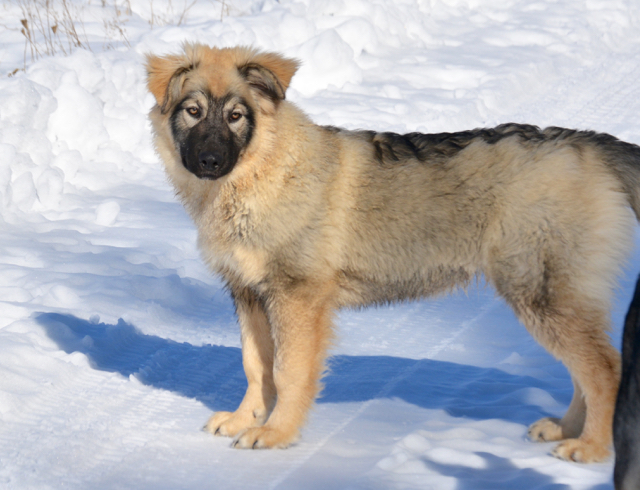 Dire Wolf Project - DireWolf Dog - Cindy - American Alsatian Dog