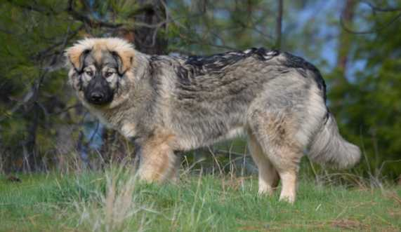 Dire Wolf Project - Cindy - DireWolf Dog - American Alsatian Dog