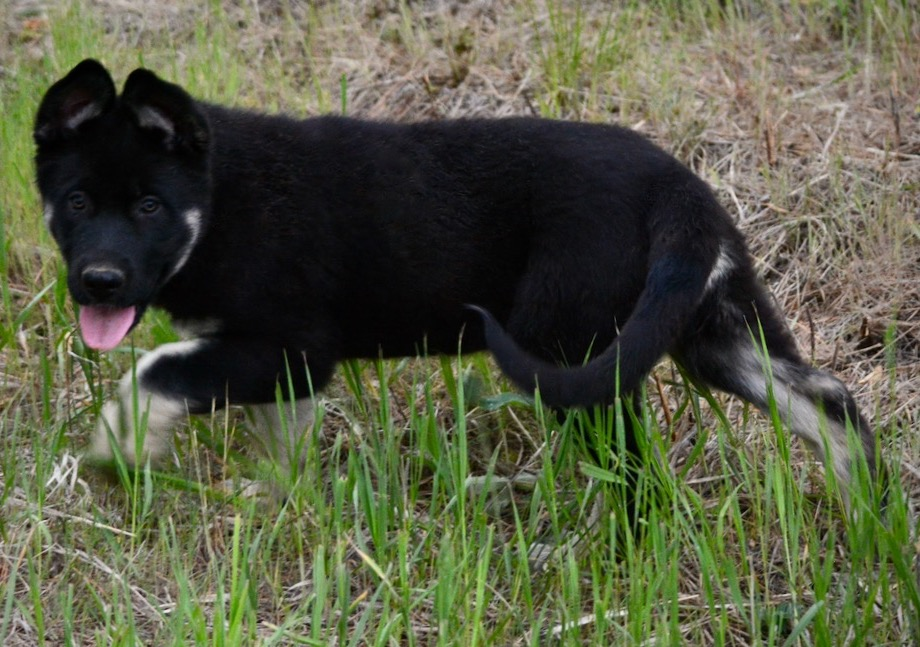 Dire Wolf Project - DireWolf Dogs - Mary - American Alsatian Dogs