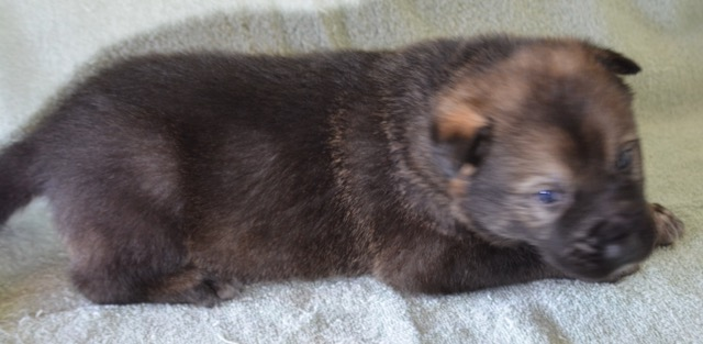 Dire Wolf Project - DireWolf Dogs - American Alsatian Dog - Grizzly Adams