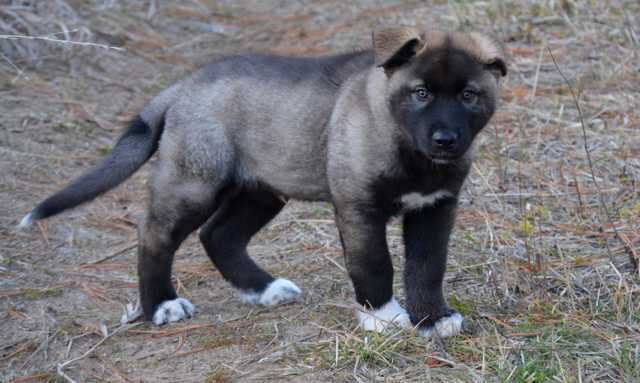 Dire Wolf Project - DireWolf Dogs of Vallecito - Stanley - American Alsatian Dogs