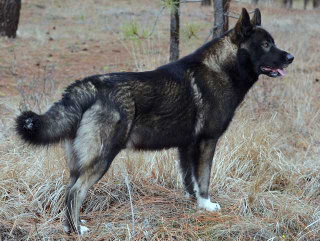 Dire Wolf Project - Stanley - DireWolf Dogs - American Alsatian dog