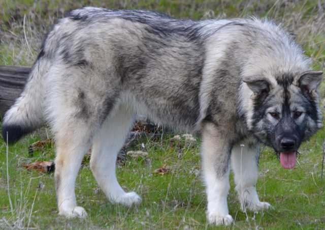 Dire Wolf Project - Andromeda - DireWolf Dogs - American Alsatian Dog