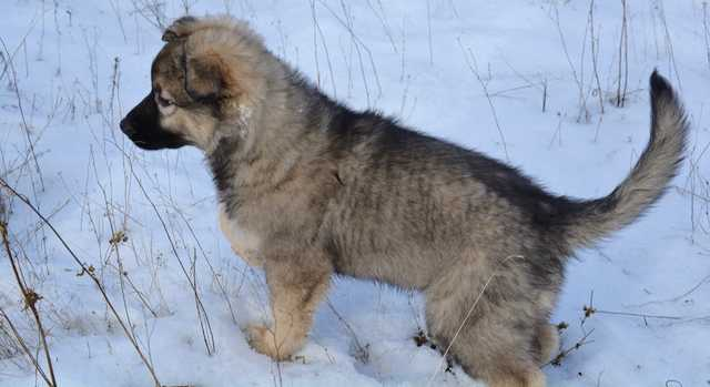 Dire Wolf Project - Cindy - DireWolf Dogs - American Alsatian Dog