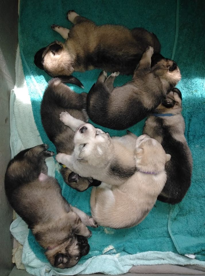 Dire Wolf Project - DireWolf Dogs - Dire Wolf - American Alsatian 2 Week Old Puppies