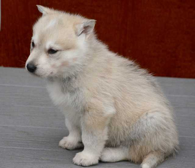 American Alsatian Dog - Dire Wolf Project - DireWolf Dog - Heart of the Sea