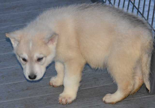 Dire Wolf Project - DireWolf Dogs - American Alsatian Dog - Heart of the Sea