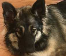 Dire Wolf Project - Forge - DireWolf Dogs - American Alsatian Dog