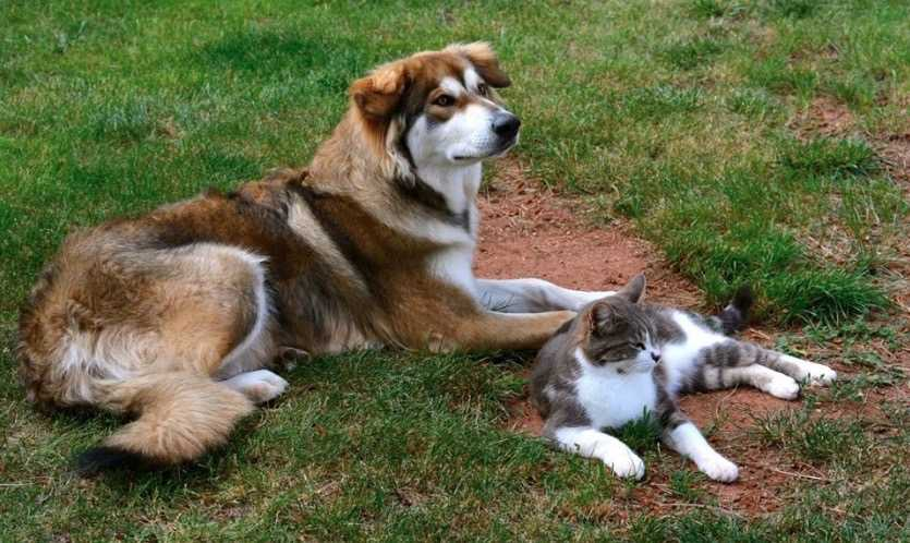 Dire Wolf Project - DireWolf Dogs - American Alsatian Dog - Misty and cat