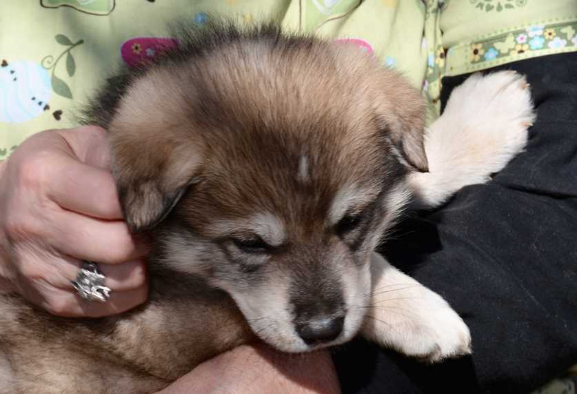 DireWolf Dogs of Vallecito - DireWolf Dog puppy reservation - Dire Wolf Project