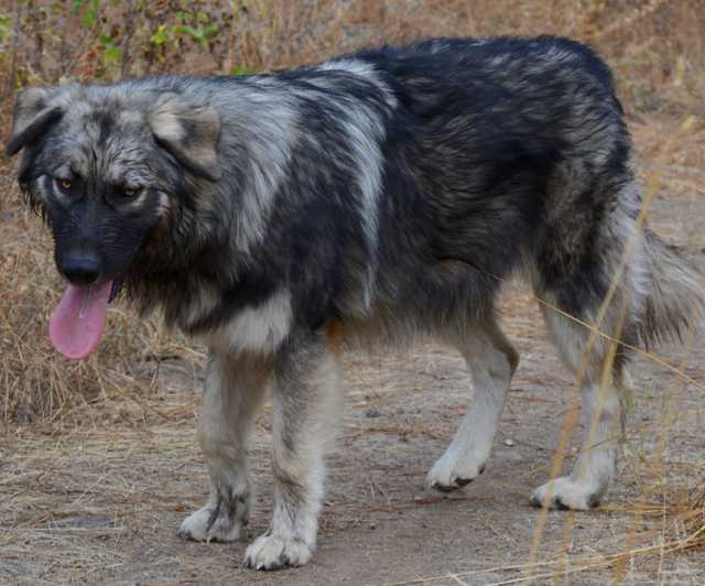 Dire Wolf Project - Silver River - DireWolf Dogs - American Alsatian Dog