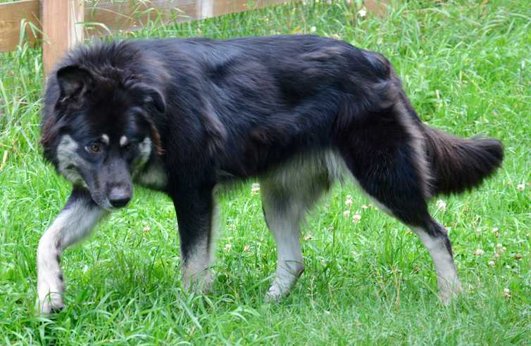 Dire Wolf Project - DireWolf Dogs - Tina Turner - American Alsatian Dog