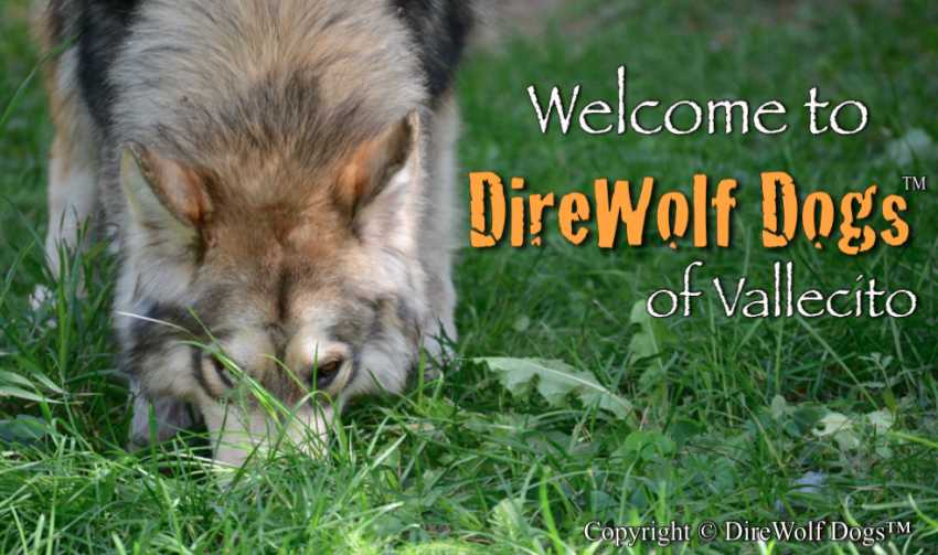 DireWolf Dog of Vallecito - DireWolf Dogs Welcome - Dire Wolf Project breeder site #2